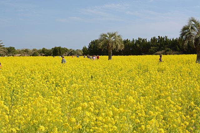 愛知県田原市「伊良湖菜の花ガーデン」 メイン会場の菜の花畑