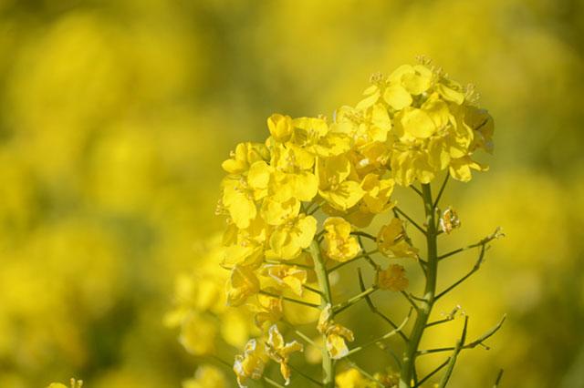 愛知県田原市「伊良湖菜の花ガーデン」 メイン会場の菜の花