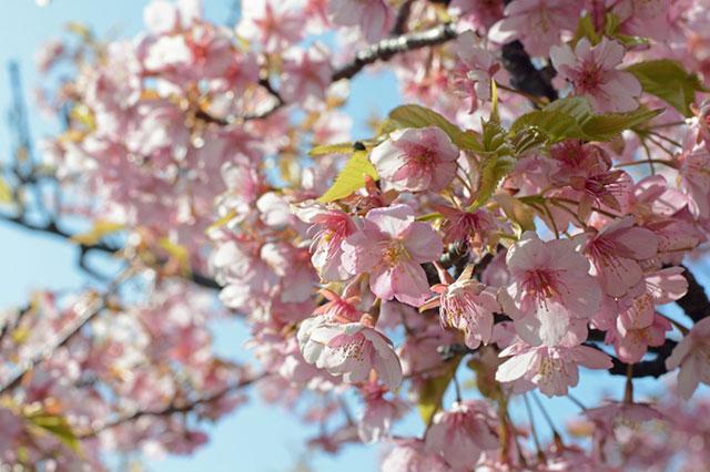 伊良湖菜の花ガーデン 河津桜 その1