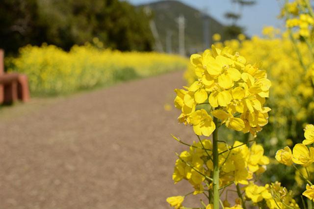 伊良湖菜の花ガーデン 散策路の脇に咲く菜の花