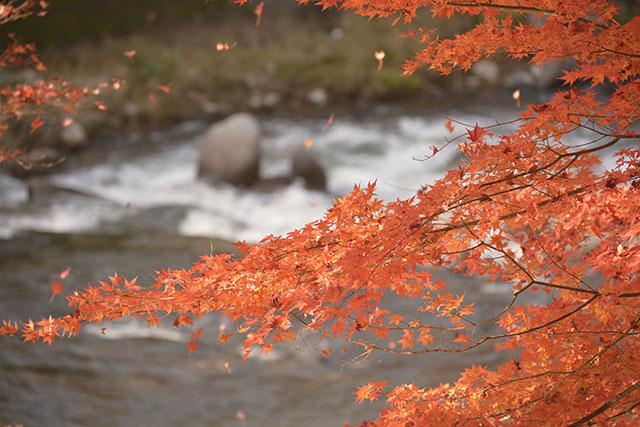 香嵐渓の紅葉 風に散る紅葉
