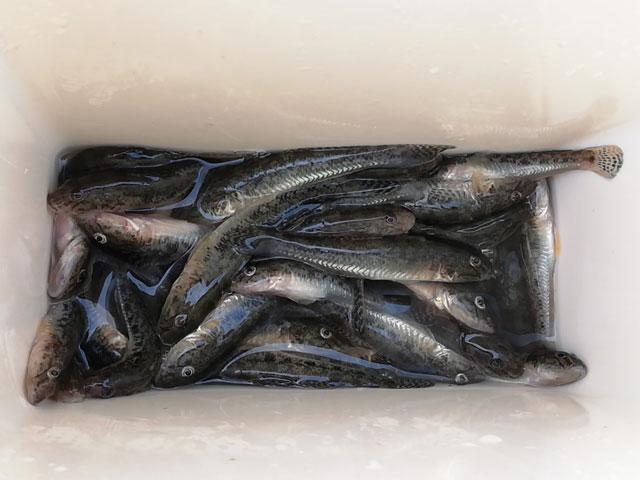 ハゼ釣りの釣果画像