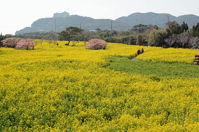 愛知県田原市「伊良湖菜の花ガーデン」 なっちの丘から見たメイン会場西側