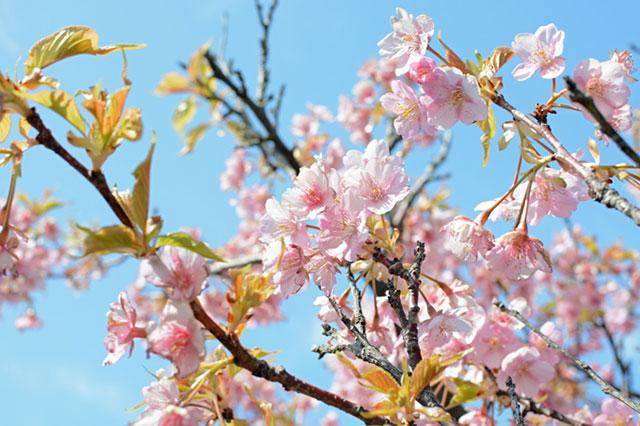 愛知県田原市「伊良湖菜の花ガーデン」 メイン会場西側の河津桜
