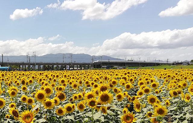 大垣ひまわり畑2018_ひまわり畑と東海道新幹線_01