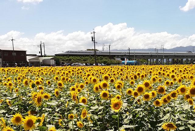 「大垣ひまわり畑2018」のひまわり畑の横を通過する東海道新幹線