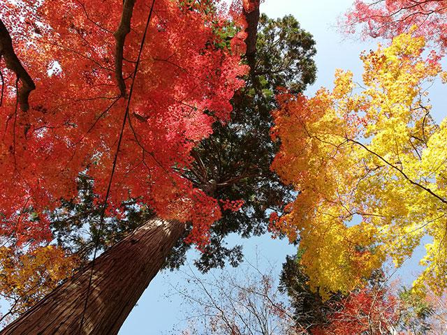 香嵐渓の紅葉 もみじのトンネル